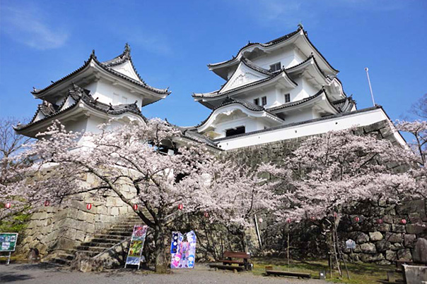 Iga Ueno Castle Keep with Sakura in Full Bloom